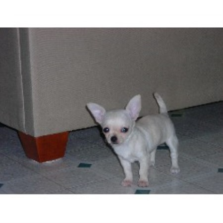 Beau's Chihuahua Pups, Chihuahua Breeder in Angier, North ...