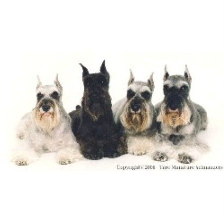 Miniature Schnauzer breeder in New Jersey