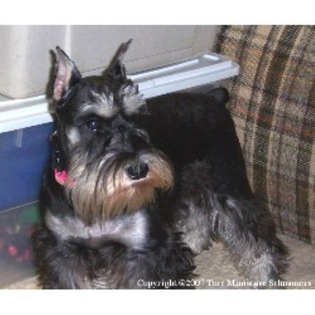Miniature Schnauzer breeder in Middletown