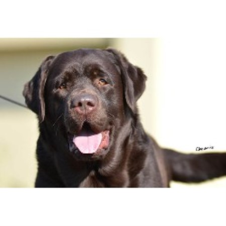 Labrador Retriever breeder Sewell 9987