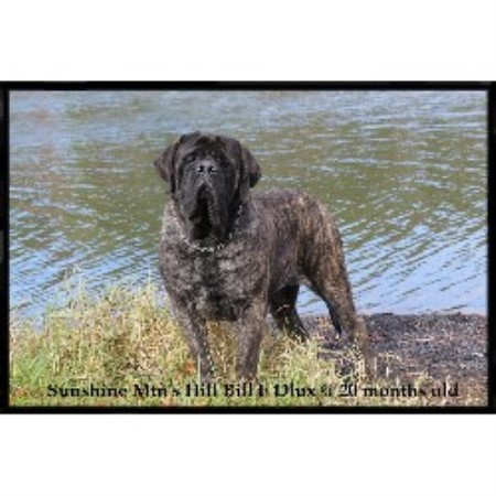 Mastiff breeder Whipple 10001