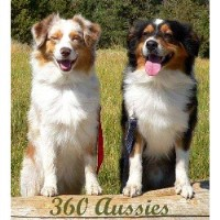 360 AUSSIES - Australian Shepherd Puppies