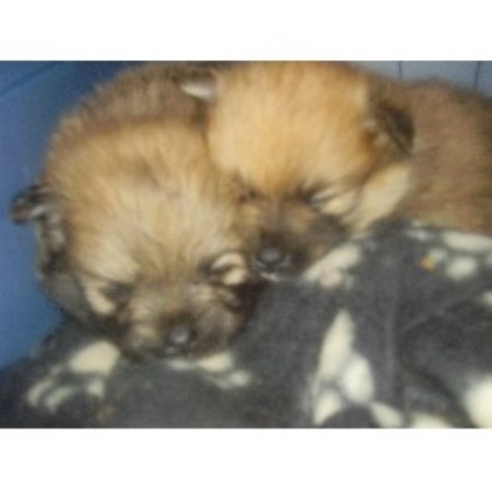 Pomeranian breeder Lethbridge 10009