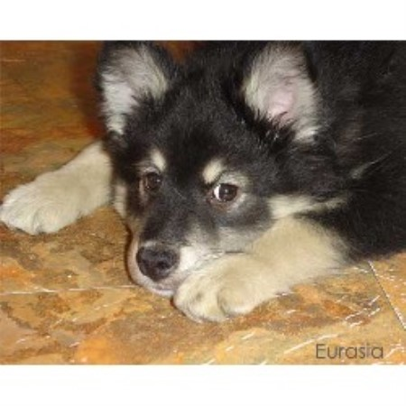 Eurasia Reg'd, Finnish Lapphund Breeder in Lanaudière, Quebec