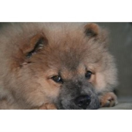 picture from D & M Farm Kennel a Chow Chow breeder