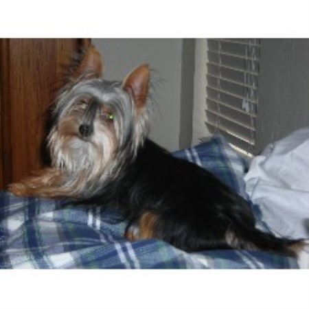 Yorkshire Terrier breeder Apache Junction 10181
