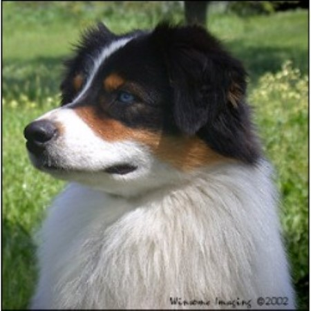 Australian Shepherd Dog breeder Fair Oaks 10216