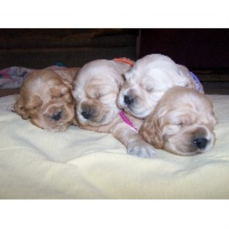 American Cocker Spaniel breeder Mount Airy 10229