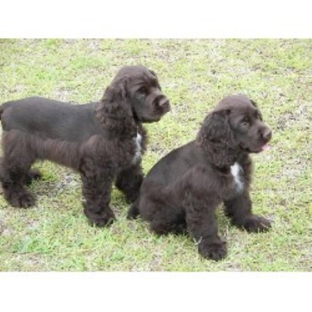 cocker spaniel breeders in nc mayberry cockers american cocker spaniel breeder in mount 5935