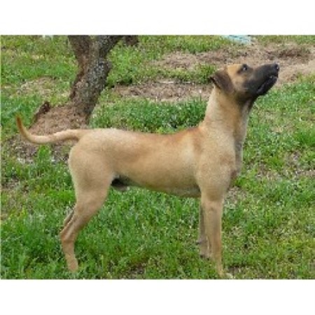 Black Mouth Cur breeder Lumberton 10249