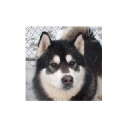 Aïkirocka Alaskan Malamute Breeder In Dunham Quebec