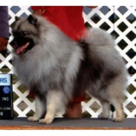 Keeshond Rescue healthy keeshond puppies