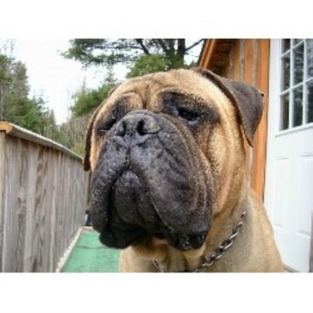 breeder all american bulldog breeders more american bulldog breeders ...