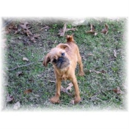 Back Forty Kennel Brussels Griffon Breeder In Terry Mississippi