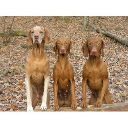 Vizsla breeder in Mary...