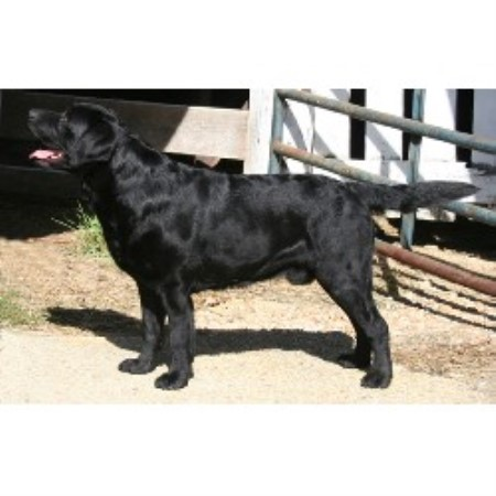 Labrador Retriever breeder Vincentown 10331