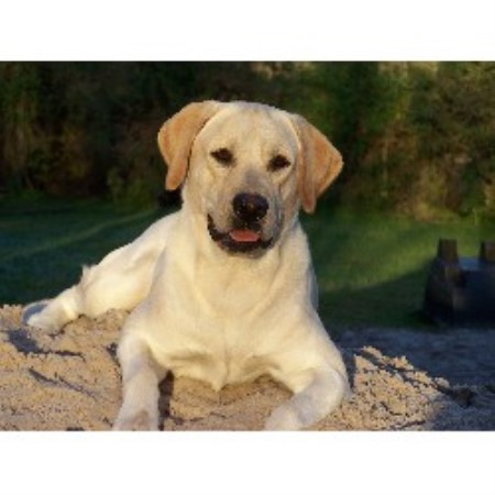 Labrador Retriever breeder in Florida