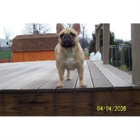 French Bulldog breeder New Kensington 10374