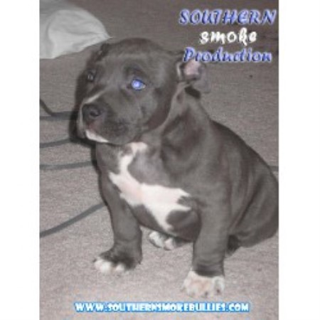 Southern Smoke Pitbulls American Pit Bull Terrier Breeder In