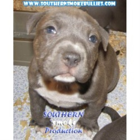 Southern Smoke Pitbulls American Pit Bull Terrier Breeder In