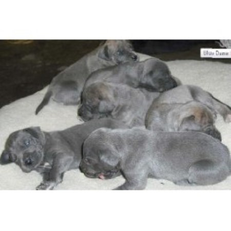 Great Dane breeder in California