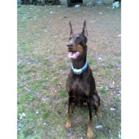 Doberman Pinscher breeder Coventry 10446