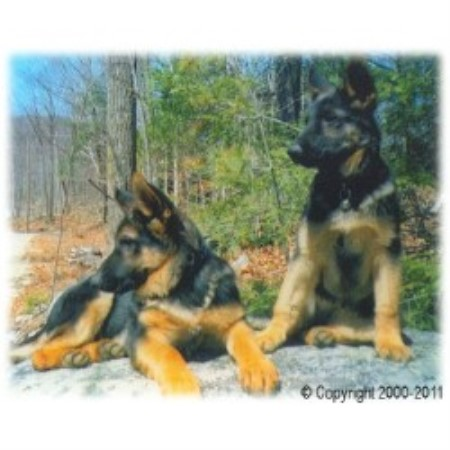 German Shepherd Dog breeder Minot 10458