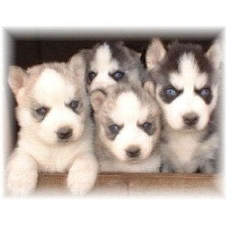 Hudson's Huskies, Siberian Husky Breeder in Baxter, Tennessee