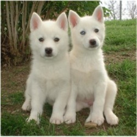 white siberian husky puppies - photo #28