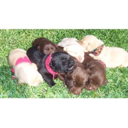 Labrador Retriever breeder Royse City 10490