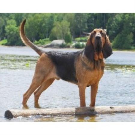 Boru Bloodhounds Bloodhound Breeder In Sudbury Ontario