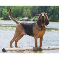 Boru Bloodhounds