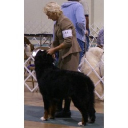 Sequoiaoaks Bernese Mountain Dog Breeder In Fiddletown