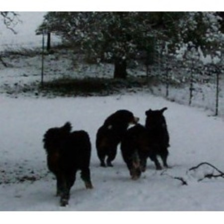 Bernese Mountain Dog Rescue Texas