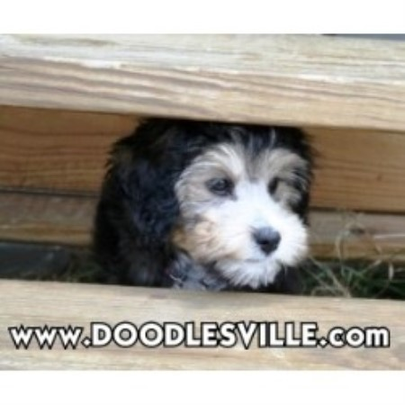 Doodlesville Goldendoodle Breeder In Martinsville Virginia