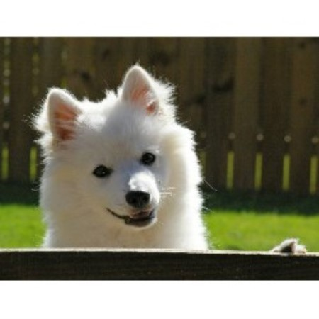 Sweet Samurai Kennels Japanese Spitz Breeder In Memphis Tennessee