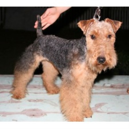 Welsh Terrier Georgia Sawyerfarm, Welsh Terr...
