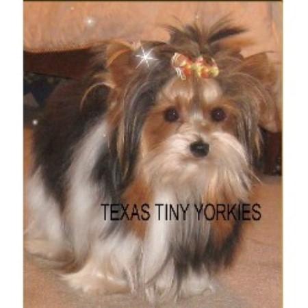 Texas Tiny Yorkies Yorkshire Terrier Breeder In Abilene Texas