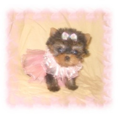 Texas Tiny Yorkies Yorkshire Terrier Breeder In Abilene Texas