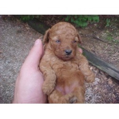 Poodle Pups With Principal Poodle Miniature Breeder In