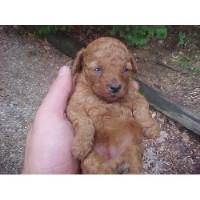 Poodle Miniature Breeders In Illinois