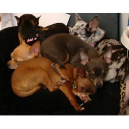 Chihuahua Breeders in Washington | FreeDogListings