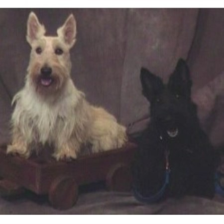 Scottish Terrier breeder Hemet 10651