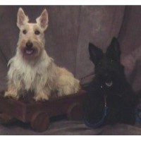 Cultons Scottish Terriers