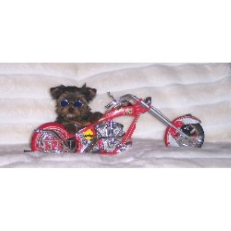 Yorkshire Terrier Yorkie Breeders In Kansas