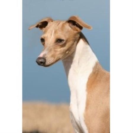 Uwharrie Italian Greyhound Breeder In Troy North Carolina