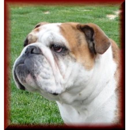 Panhandle Bulldogs English Bulldog Breeder In Gering Nebraska