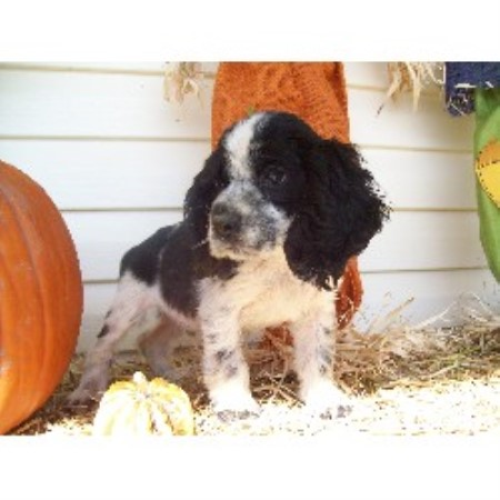 Micro Mini Cockers American Cocker Spaniel Breeder In