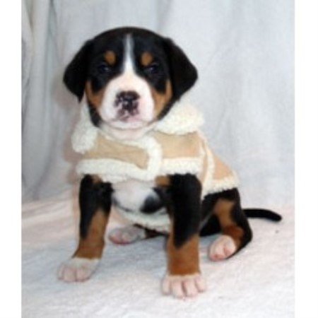 Cherished Swissies Greater Swiss Mountain Dog Breeder In