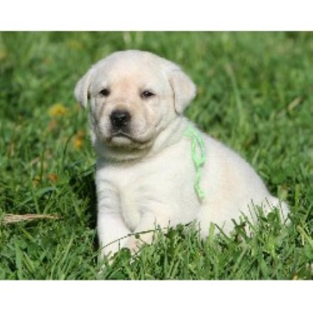 Cedar Creek Retrievers Llc, Labrador Retriever Breeder in
